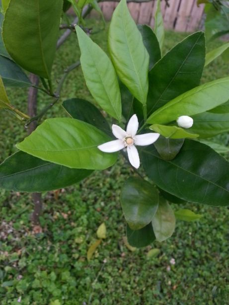 Ah, spring and the smell of orange blossoms in the air!!