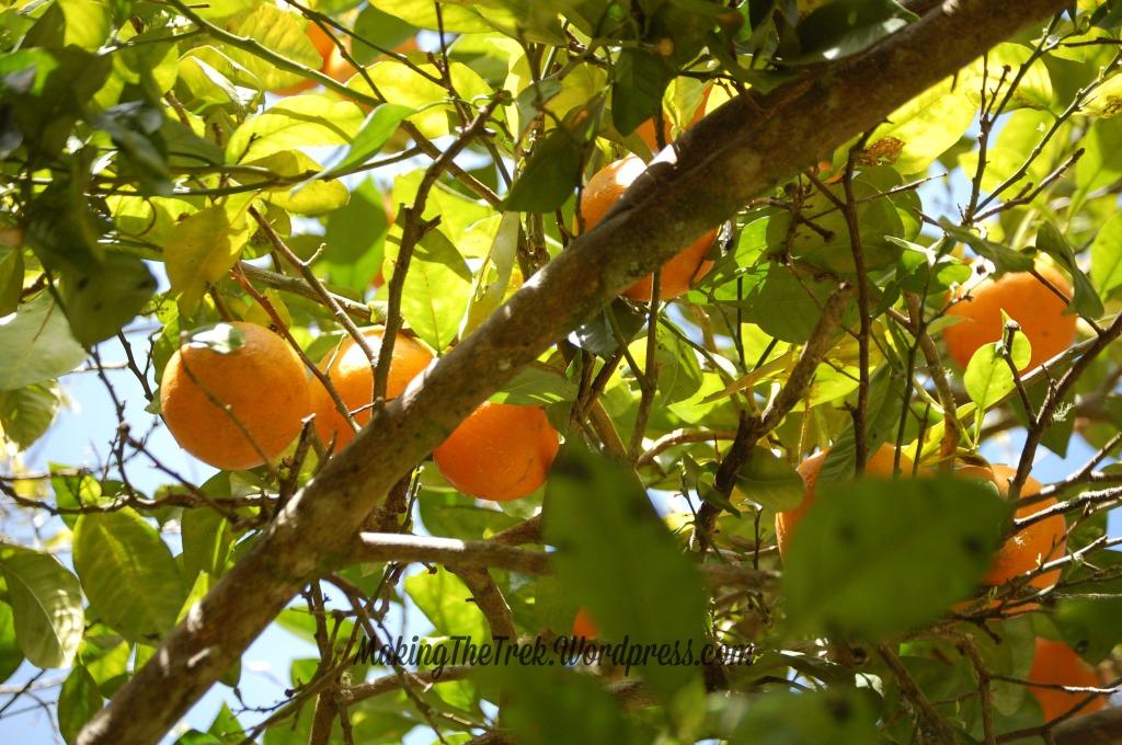 Fresh oranges!!